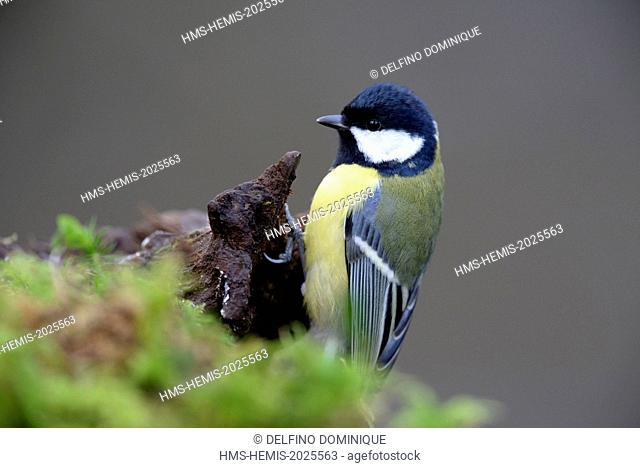 France, Doubs, Great Tit (Parus major) attached to a covered root foam