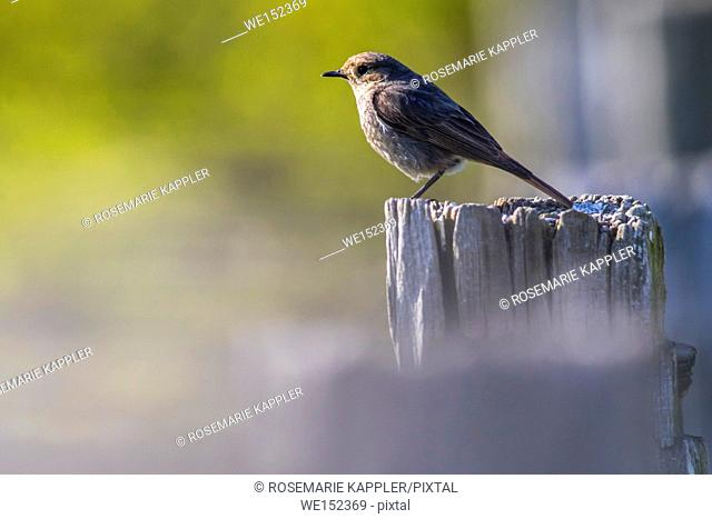 Germany, Saarland, Homburg - A black redtail is sitting on a post