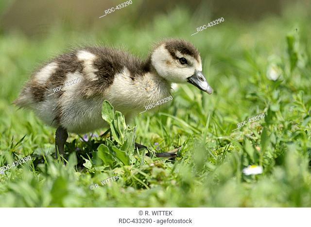 Egyptian Geese, gosling