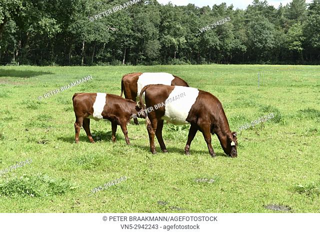 Dutch Lakenvelder cows, a rare breed of dairy cattle in the Netherlands