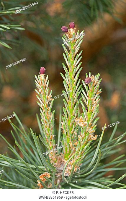 Scotch pine, Scots pine (Pinus sylvestris), young branches with female cones, Germany