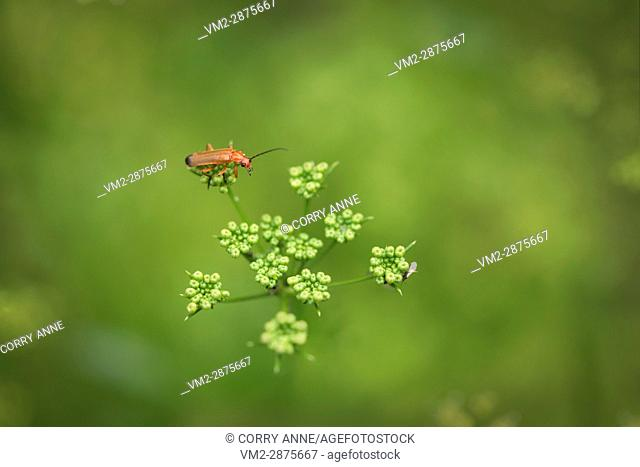 Red soldier beetle hunting a fly. Fraser Valley, British Columbia, Canada