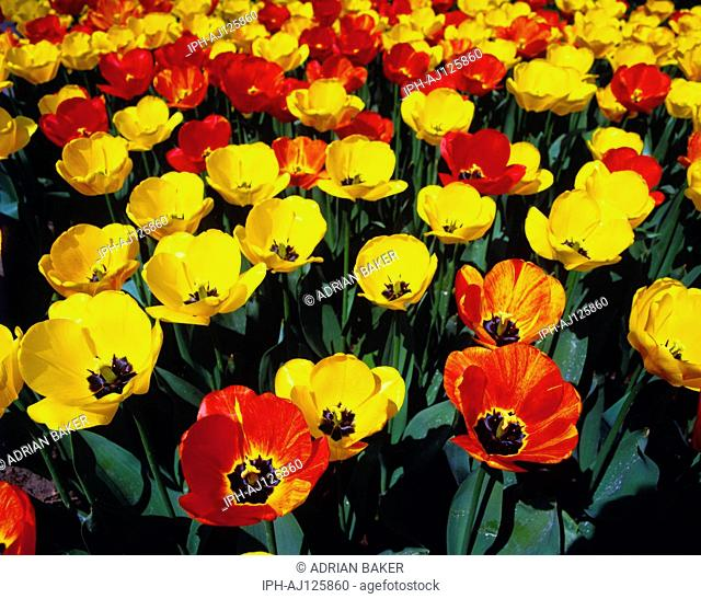 Close-up of flowers in a bulb fields at Lisse, heart of the bulb growing region of Holland's flower industry