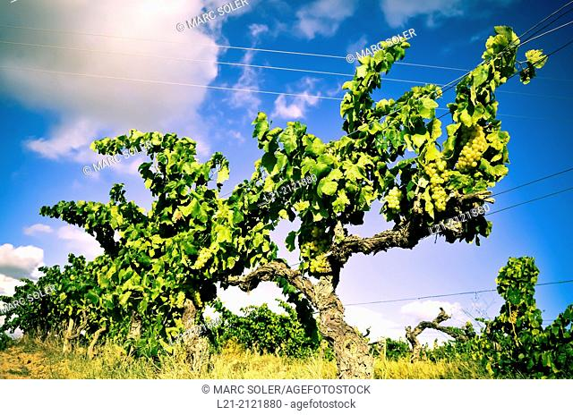 Vineyard, vine, blue sky. Alt Penedès, Catalonia, Spain