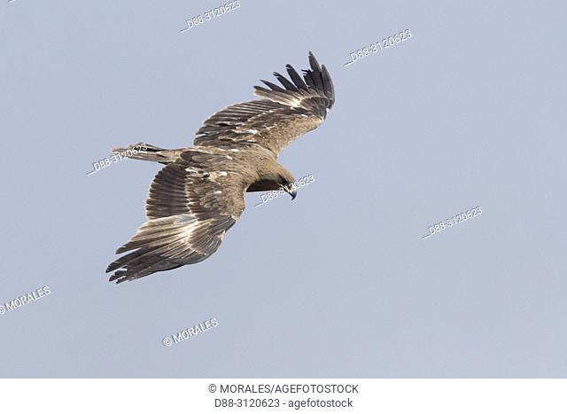 Africa, Ethiopia, Rift Valley, Debre Libanos, Tawny eagle, (Aquila rapax), carries a branch to build his nest