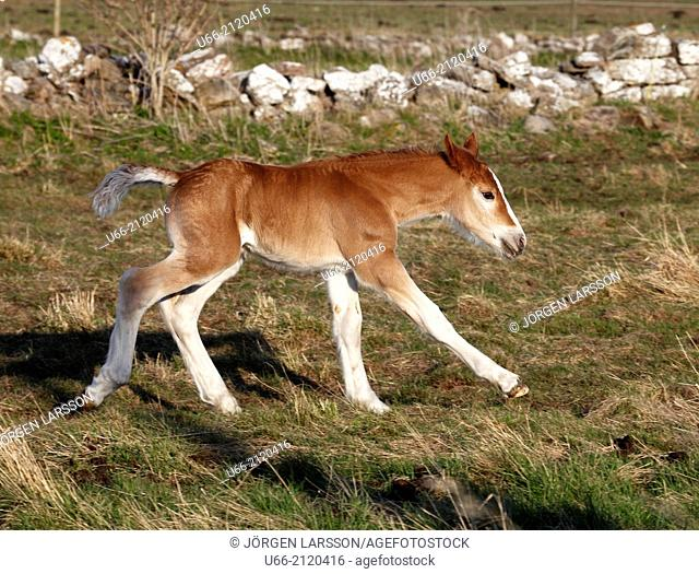 Ardennes horse, foal, Öland, Sweden