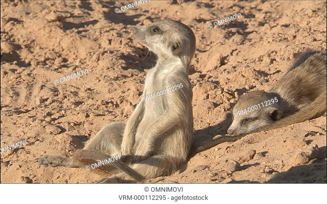 WS Meerkat sitting and looking out / Kalahari Desert, South Africa