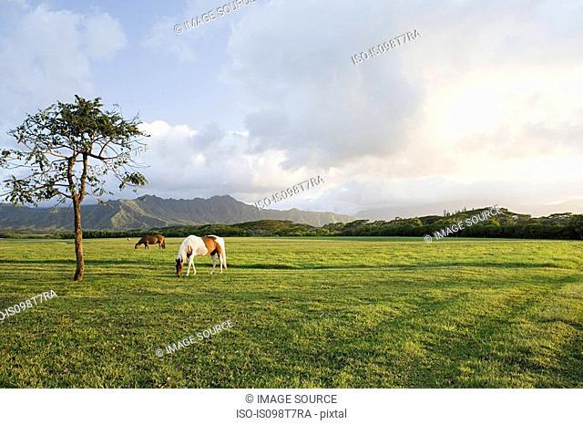 Horse in field near princeville, kauai