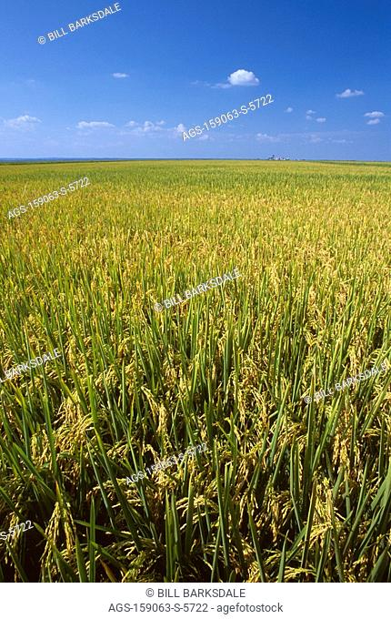Agriculture - Field of mature, near harvest stage rice / AR