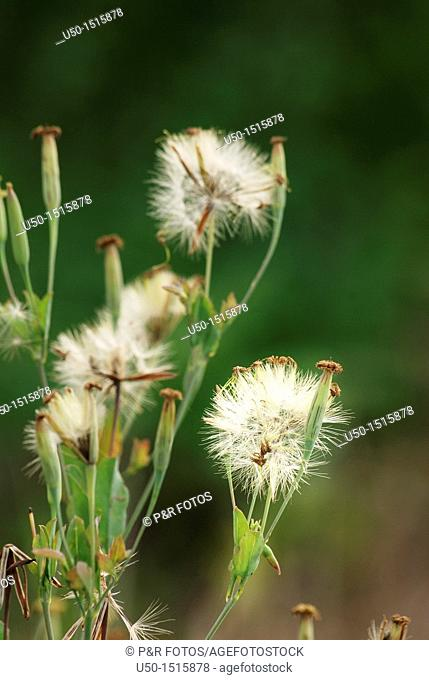 Seeds of Fire Weed, Erechtites hieraciifolia, Asteraceae Compositae