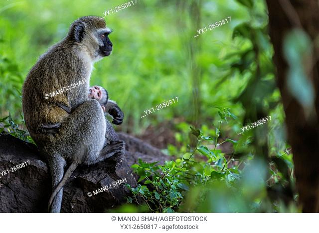 Vervet mother feeding baby in in a Great Rift Valley forest north of Lake Baringo