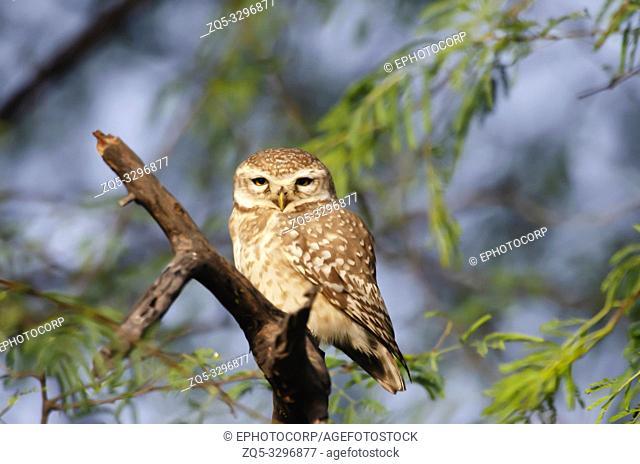 Spotted owlet, Athene brama, Keoladeo National Park, Bharatpur, India
