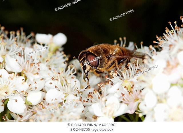 Drone fly (Eristalis tenax) on Pyracantha flowers