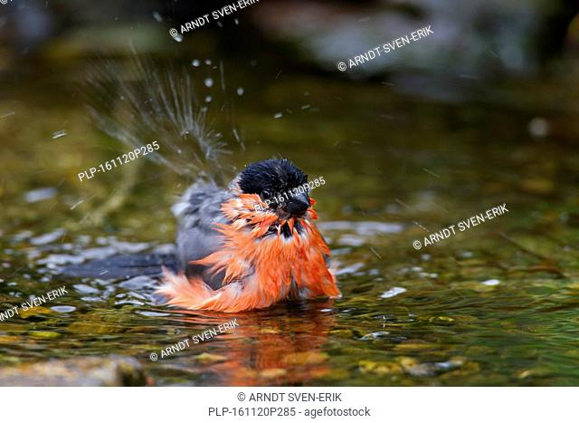 Common bullfinch / Eurasian bullfinch (Pyrrhula pyrrhula) male bathing in shallow water of brook