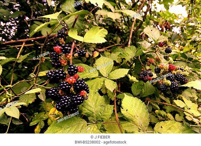 shrubby blackberry Rubus fruticosusa agg., with fruits, Germany, Rhineland-Palatinate