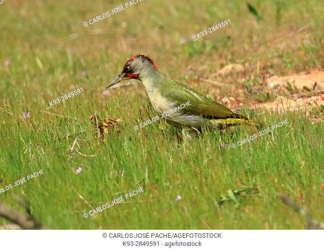 European green woodpecker (Picus viridis) in a Dehesa ,  Extremadura, Spain