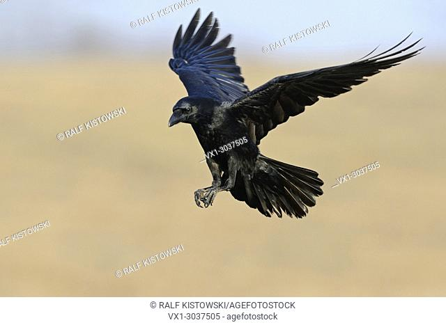 Common Raven ( Corvus corax) in flight, flying in, wildlife, Europe