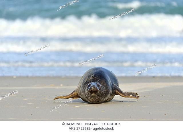 Grey Seal, Halichoerus grypus, Male, Helgoland, Dune, North Sea, Island, Schleswig-Holstein, Germany