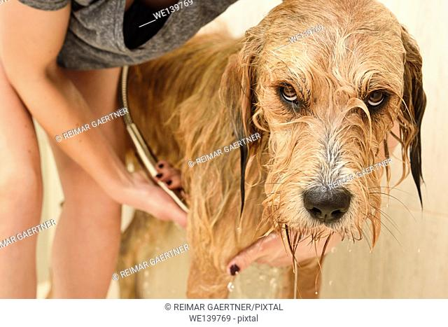 Young woman rinsing shampoo from a resigned longhaired dog in a home shower stall