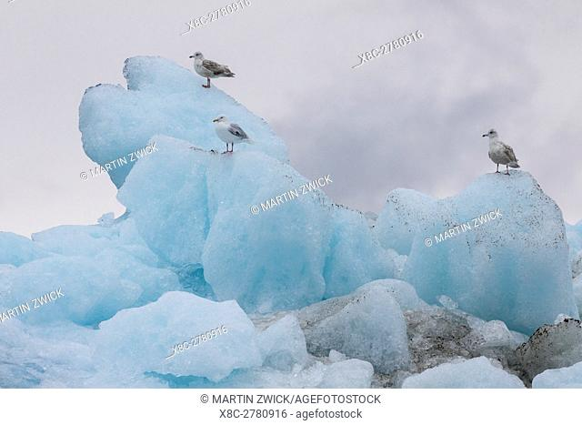 Gulls on icebergs drifting in the fjords of southern greenland. America, North America, Greenland, Denmark