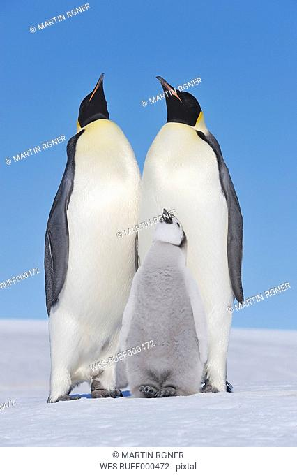 Antarctica, Antarctic Peninsula, Emperor penguins with chick on snow hill island