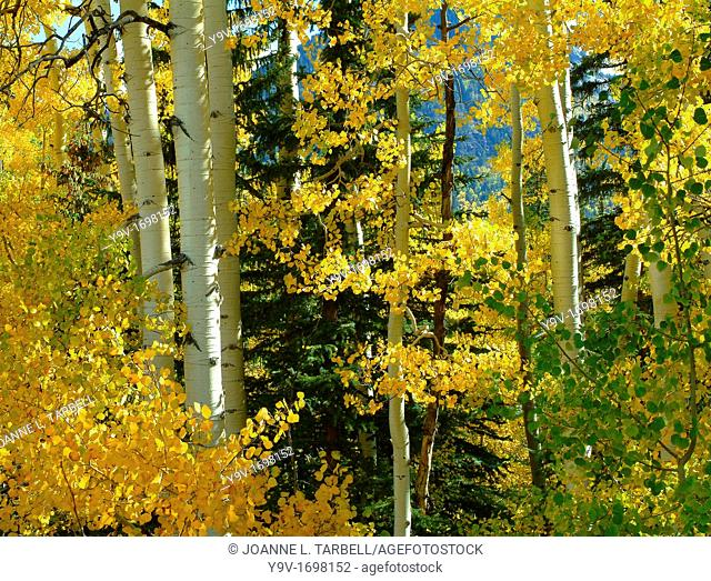Fall Color Aspen Trees, Colorado USA