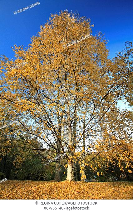 Silver Birch Tree Betula pendula, showing autumn colour, Germany