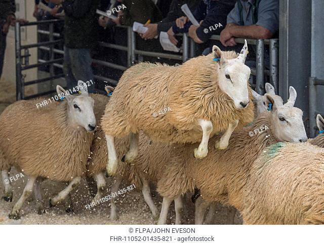 Domestic Sheep, White Welsh Mule ewe lambs, running and jumping at livestock market, Welshpool Livestock Market, Welshpool, Powys, Wales, September