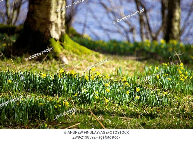 Wild Daffodils by the shores of the lake. Ullswater, Lake District, Cumbria, England United Kingdom