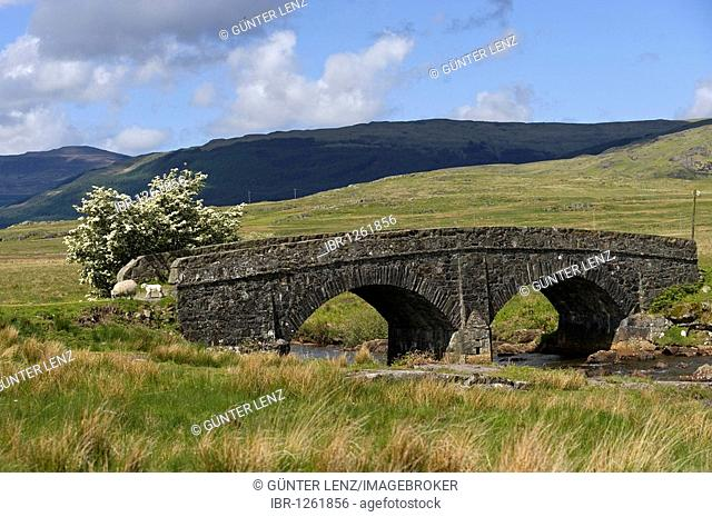 Stone bridge and sheep, Isle of Mull, Scotland, United Kingdom, Europe