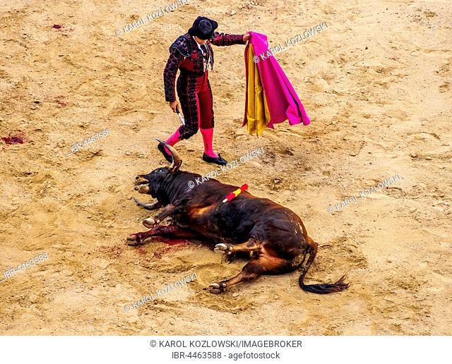 Bullfighter walks away from dead young bull in bullfighting arena, torero, matador, novice bullfight, Novillada Picada, bullring Plaza de Toros de Las Ventas