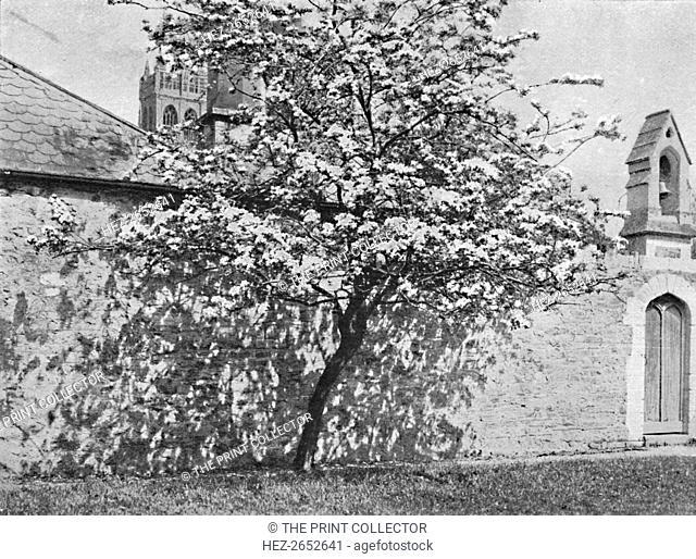 'The Glastonbury Thorn', 1902. The Glastonbury thorn is a form of common hawthorn, Crataegus monogyna 'Biflora' found in and around Glastonbury, Somerset