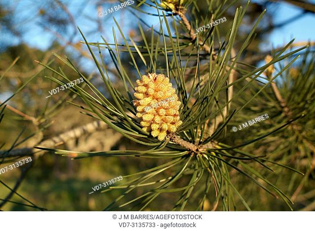 Maritime pine or cluster pine (Pinus pinaster) is a coniferous tree native to Mediterranean Basin, specially to Iberian Peninsula. Male flowers detail