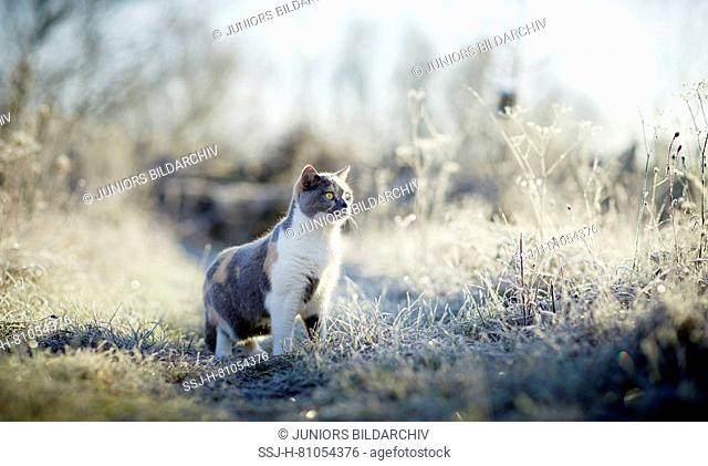 British Shorthair. Adult cat on a frosty morning in a garden. Germany