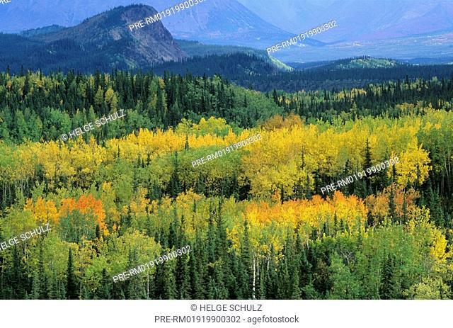 Quaking Aspen in fall and Alaska Range