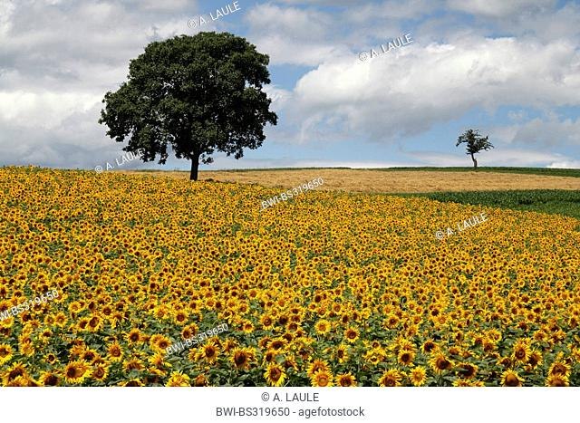 common sunflower (Helianthus annuus), sunflower field with walnut tree and cloudy sky, Switzerland, Siblingen