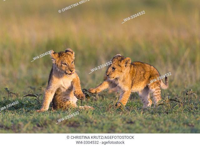African Lion cubs (Panthera leo), Masai Mara National Reserve, Kenya, East Africa