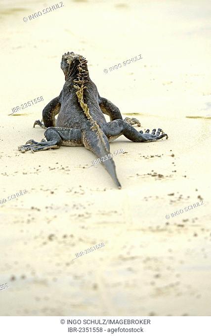 Marine Iguana (Amblyrhynchus cristatus), subspecies from Isabela Island, on a beach with footprints, Puerto Villamil, Galapagos