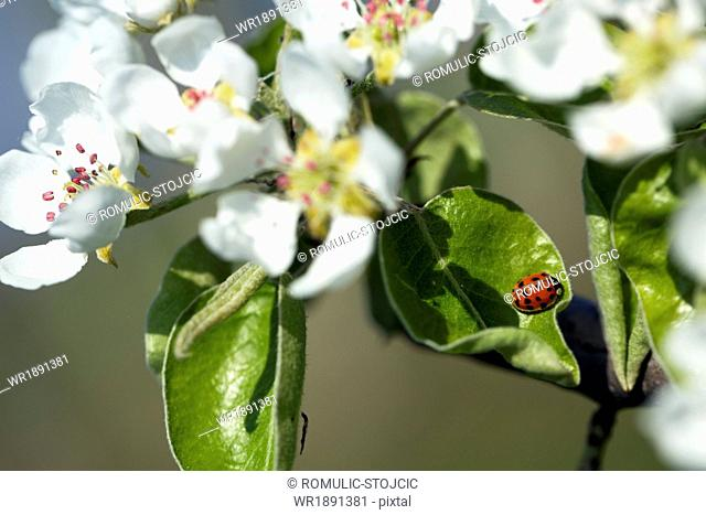 Ladybug and apple blossoms, close-up