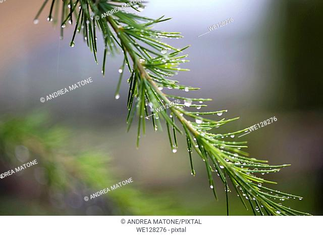 Rain drops on a pine tree branch