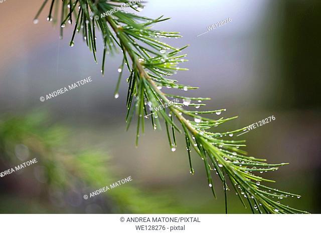 Rain drops on a pine tree branch