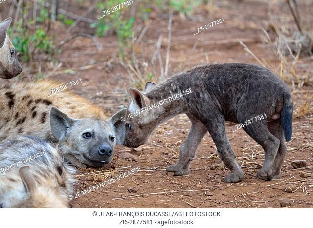 Spotted hyenas or Laughing hyenas (Crocuta crocuta), lying adult and male baby looking at each other, Kruger National Park, South Africa, Africa