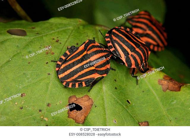 Strip bugs (Graphosoma lineatum)