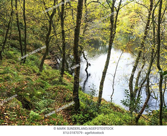 Autumn birch trees by Guisecliff Tarn in Guisecliff Wood Pateley Bridge North Yorkshire England