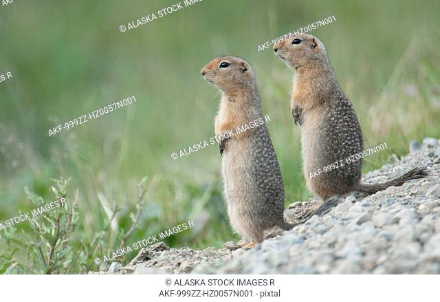 Two Parka Squirrels stand alert for danger in Denali National Park & Preserve, Interior Alaska, Summer