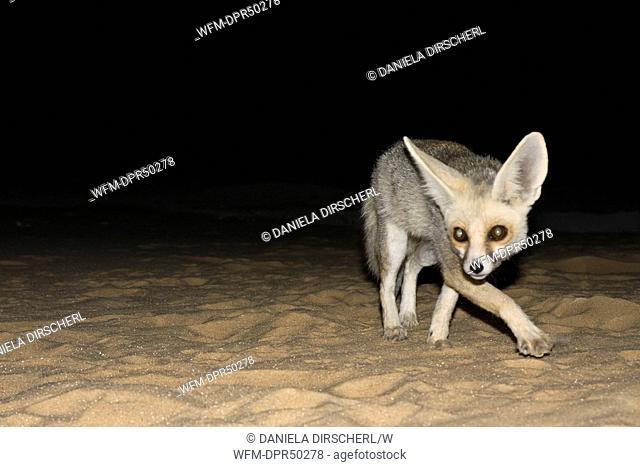 Desert Fox at Night, Vulpes Zerda, Libyan Desert, Egypt
