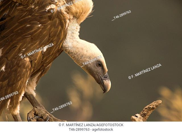 Griffon vulture (Gyps fulvus). Photographed in the Espinar Segovia