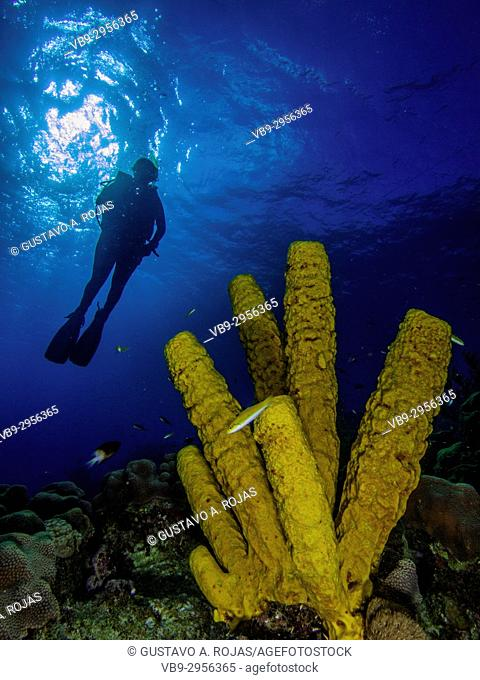 Caribbean Sea Los Roques, Scuba-Diver underwater photographer Tour, Underwater, Venezuela, Yellow Tube Sponge -Aplysina fistularis-