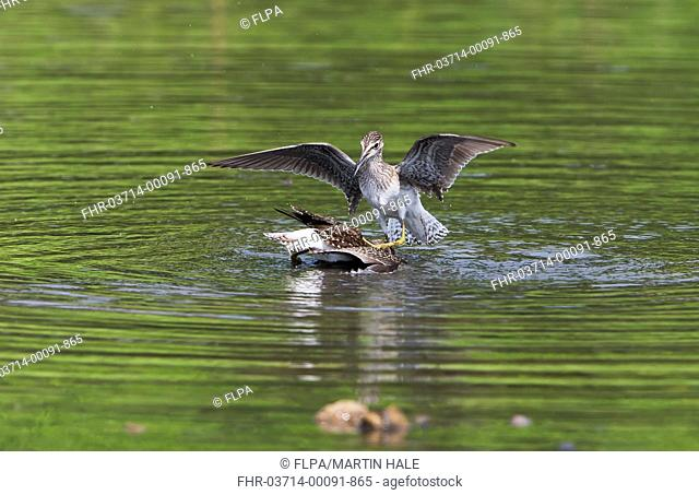 Wood Sandpiper (Tringa glareola) two juveniles, fighting over feeding territory in water, with aggressor repeatedly attempting to drown rival, Lok Ma Chau