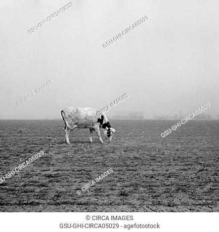 Cow Trying to Graze on Windswept Pasture of Farm, Ford County, Kansas, USA, Arthur Rothstein, Farm Security Administration, March 1936